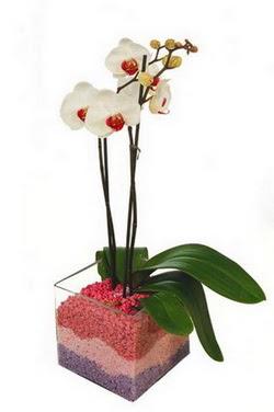 Ankara uluslararası çiçek gönderme  tek dal cam yada mika vazo içerisinde orkide