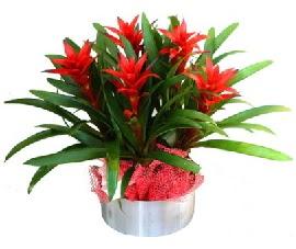 5 adet guzmanya saksı çiçeği  Ankara çiçek gönderme sitemiz güvenlidir