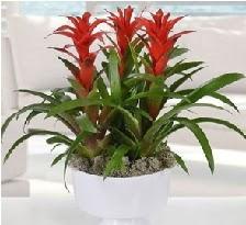 3 lü Guzmanya saksı çiçek bitkisi  Ankara 14 şubat sevgililer günü çiçek