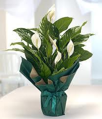 Spatifilyum Barış çiçeği Büyük boy  Ankara çiçek servisi , çiçekçi adresleri