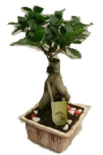 Japon ağacı bonsai seramik saksı  Ankara çiçek mağazası , çiçekçi adresleri