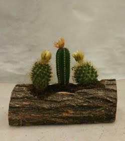 Doğal kütük içerisinde 3 adet kaktüs bitkisi  Ankara cicek , cicekci