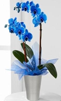 Seramik vazo içerisinde 2 dallı mavi orkide  Ankara çiçek , çiçekçi , çiçekçilik