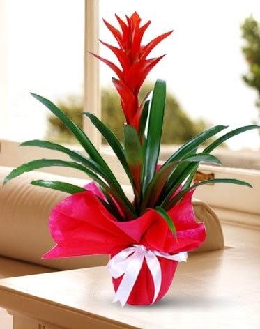 Guzmanya Saksı Çiçeği  Ankara çiçek yolla