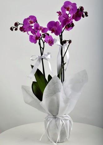 Çift dallı saksıda mor orkide çiçeği  Ankara çiçek siparişi vermek