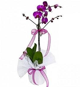 Tek dallı saksıda ithal mor orkide çiçeği  Ankara çiçekçiler