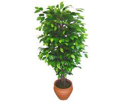 Ficus Benjamin 1,50 cm   Ankara anneler günü çiçek yolla