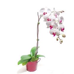 Ankara çiçek gönderme  Saksida orkide