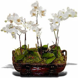 Ankara çiçek , çiçekçi , çiçekçilik  Sepet içerisinde saksi canli 3 adet orkide
