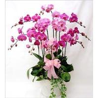Ankara cicekciler , cicek siparisi  3 adet saksi orkide  - ithal cins -