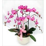 Ankara çiçek mağazası , çiçekçi adresleri  3 adet saksi da orkide - yerli ege cins -