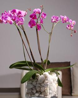 Ankara çiçek siparişi sitesi  2 dal orkide cam yada mika vazo içerisinde
