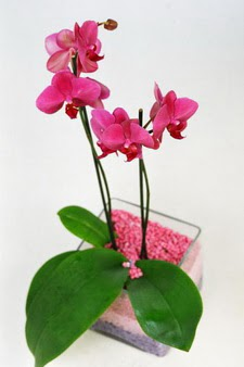 Ankara çiçekçi mağazası  tek dal cam yada mika vazo içerisinde orkide