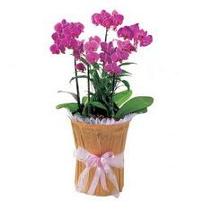 Ankara çiçek siparişi vermek  saksi iiçerisinde 3 dal orkide