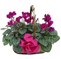 Ankara çiçek gönderme  sepet içerisinde 2 adet cyklamen saksi çiçegi