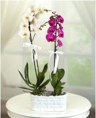 1 dal beyaz 1 dal mor yerli orkide saksıda  Ankara çiçek servisi , çiçekçi adresleri