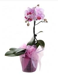 1 dal pembe orkide saksı çiçeği  Ankara kaliteli taze ve ucuz çiçekler