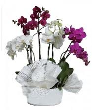 4 dal mor orkide 2 dal beyaz orkide  Ankara anneler günü çiçek yolla