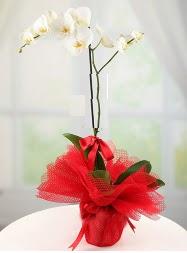 1 dal beyaz orkide saksı çiçeği  Ankara yurtiçi ve yurtdışı çiçek siparişi