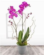 2 dallı mor orkide saksı çiçeği  Ankara ucuz çiçek gönder