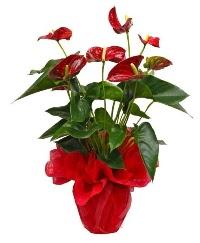 Görsel antoryum saksı çiçeği  Ankara online çiçek gönderme sipariş
