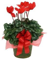 Sılkamen saksı çiçeği  Ankara yurtiçi ve yurtdışı çiçek siparişi