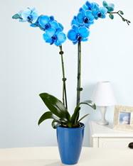 Eşsiz bir hediye 2 dallı mavi orkide  Ankara cicekciler , cicek siparisi