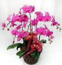 6 Dallı mor orkide çiçeği  Ankara anneler günü çiçek yolla