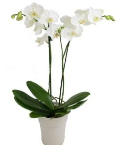 2 dallı beyaz orkide  Ankara uluslararası çiçek gönderme