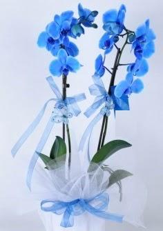 2 dallı mavi orkide  Ankara internetten çiçek satışı