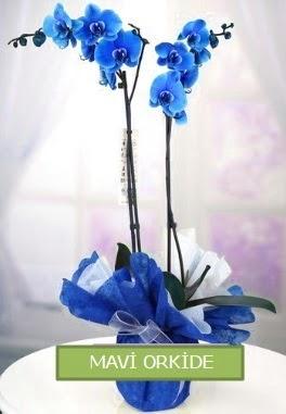 2 dallı mavi orkide  Ankara çiçekçiler