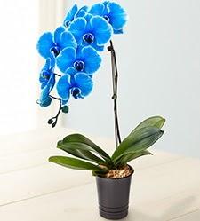 1 dallı süper eşsiz mavi orkide  Ankara çiçek mağazası , çiçekçi adresleri