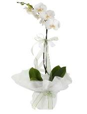 1 dal beyaz orkide çiçeği  Ankara çiçek siparişi vermek