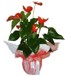 Antoryum saksı iç mekan süs bitkisi  Ankara çiçek servisi , çiçekçi adresleri