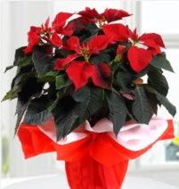 Atatürk Çiçeği saksı çiçeği  Ankara online çiçek gönderme sipariş