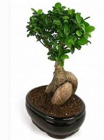 Bonsai saksı bitkisi japon ağacı  Ankara çiçek siparişi sitesi
