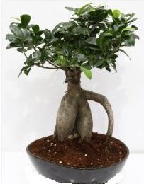 5 yaşında japon ağacı bonsai bitkisi  Ankara internetten çiçek satışı