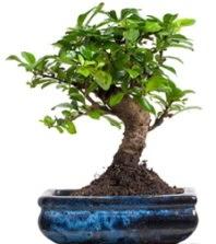 5 yaşında japon ağacı bonsai bitkisi  Ankara çiçek satışı