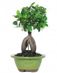 5 yaşında japon ağacı bonsai bitkisi  Ankara cicek , cicekci