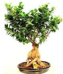 Bonsai Japon ağacı saksı bitkisi  Ankara çiçek siparişi sitesi