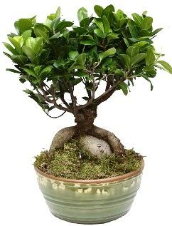 Japon ağacı bonsai saksı bitkisi  Ankara hediye çiçek yolla