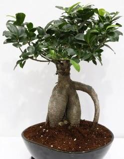 Japon ağacı bonsai saksı bitkisi  Ankara çiçek yolla