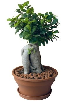 Japon ağacı bonsai saksı bitkisi  Ankara çiçek gönderme