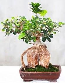 Japon ağacı bonsai saksı bitkisi  Ankara ucuz çiçek gönder