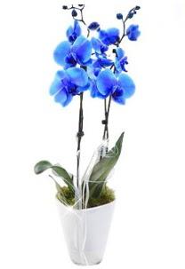 2 dallı AŞILI mavi orkide  Ankara çiçek satışı