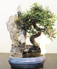 Japon ağacı bonsai saksı bitkisi satışı  Ankara internetten çiçek satışı