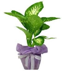 80 cm Büyük boy Tropik saksı bitkisi  Ankara anneler günü çiçek yolla