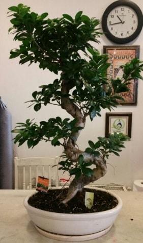 100 cm yüksekliğinde dev bonsai japon ağacı  Ankara hediye çiçek yolla