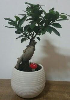Bonsai japon ağacı saksı çiçeği  Ankara çiçek gönderme sitemiz güvenlidir