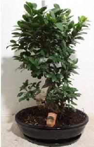 75 CM Ginseng bonsai Japon ağacı  Ankara İnternetten çiçek siparişi